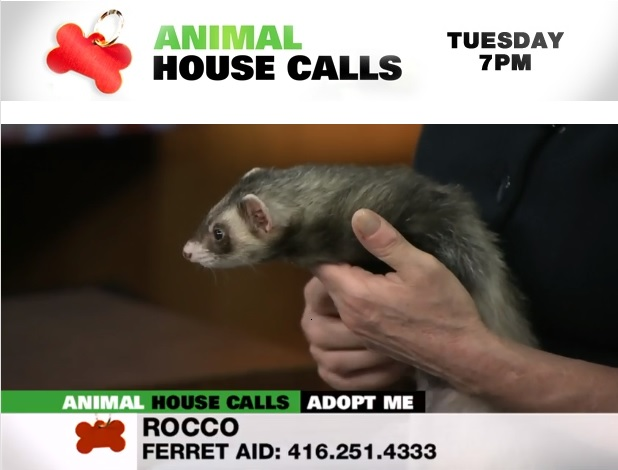 Ferret Aid on Animal House Calls