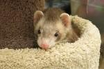 s-ferrets_Apache_IMG_0669 copy