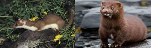 mink-weasel